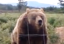 Behold Olympic Game Farm's Waving Bear!