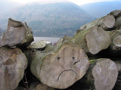 Felled_Beech_at_Thirlmere.JPG