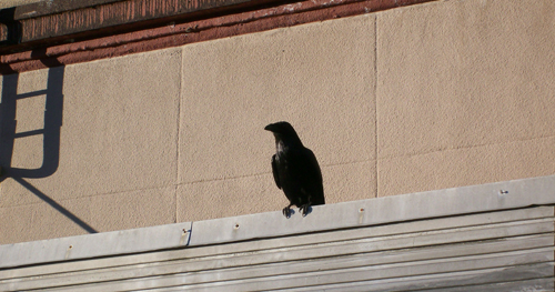 Large raven pervade Juneau. They squawk louder than VW Bugs can honk.