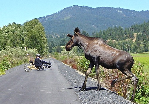 click to enlarge! moose on the loose!