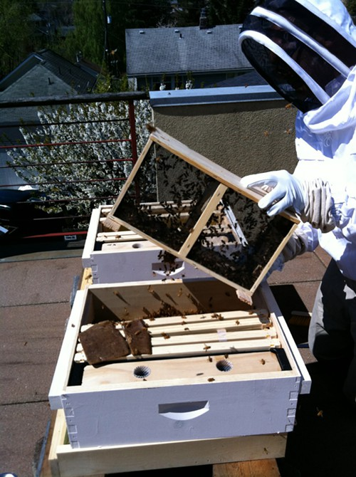 Dumping the bees into the hive