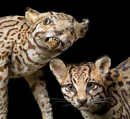 GUESS WHICH ONE AIN'T RIGHT One ocelot taxidermied by someone who'd never seen an ocelot, and the other by someone who had.