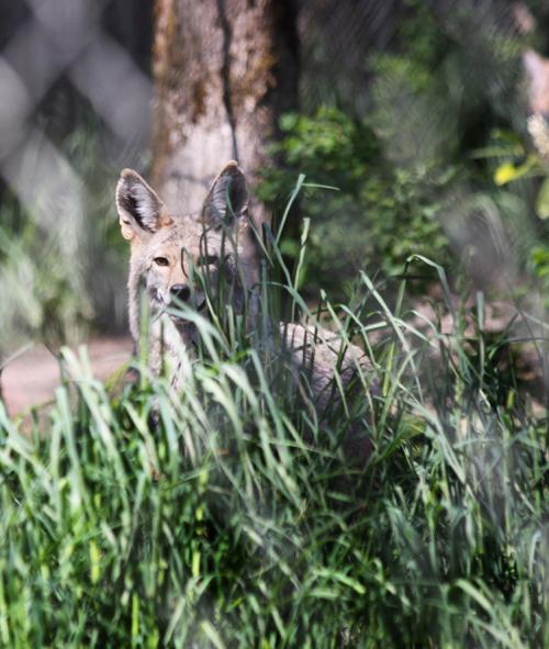 Hello, coyote!