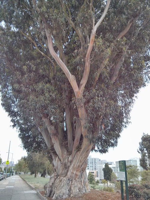 This Big Tree Is Somewhere in the Gated City of San Francisco