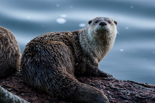 The otter was shot with a .22-caliber pistol with a silencer.