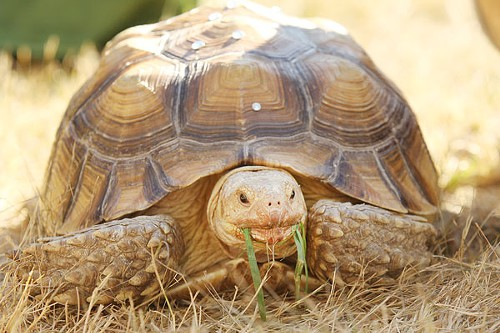 The only non-service animal allowed at Meltdown. Introducing Worthy the tortoise. She will outlive us all.
