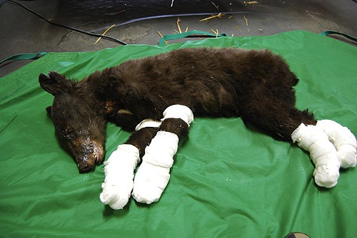 This is Cinder, a black-bear cub whose paws were hurt during the largest fire in Washington State history.